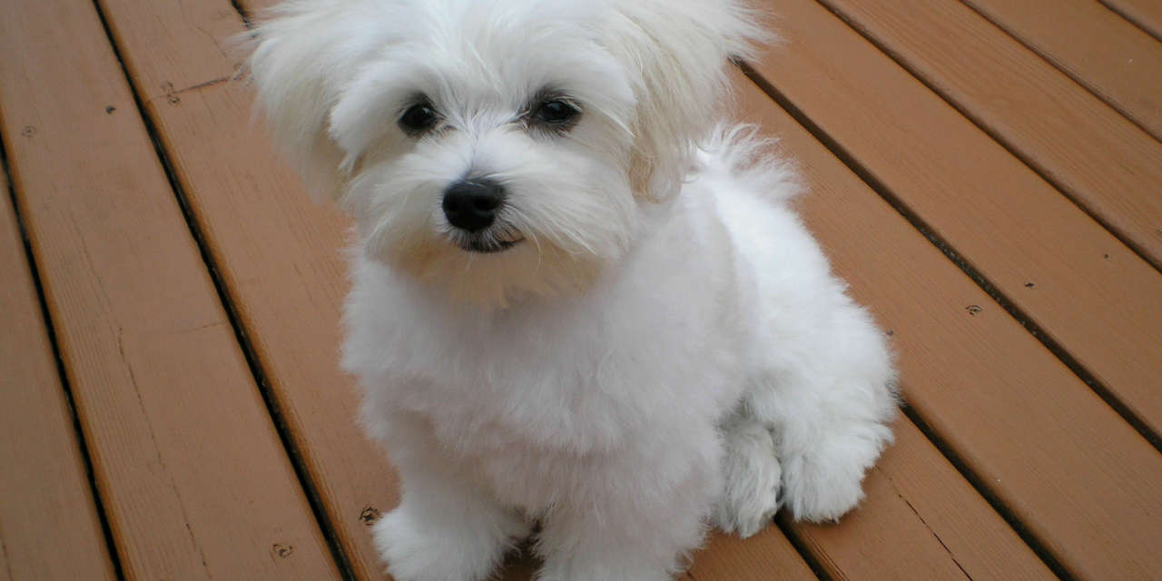 The Maltese - A Hypoallergenic Dog