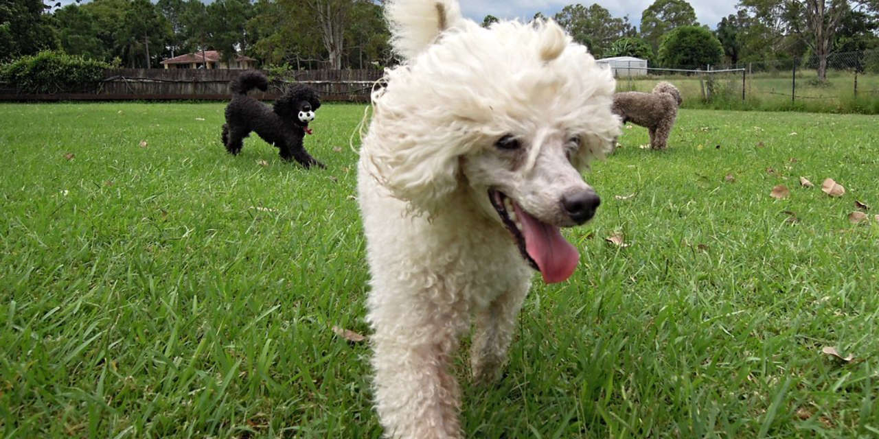 The Poodle - Hypoallergenic Breeds