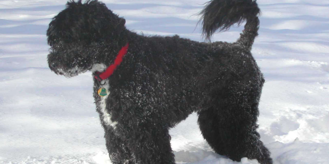 The Portuguese Water Dog - A Non Shedding Breed