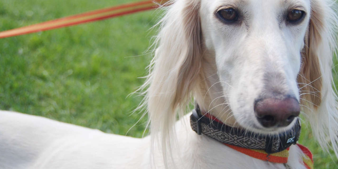 The Saluki - A Non Shedding Sort Of Dog