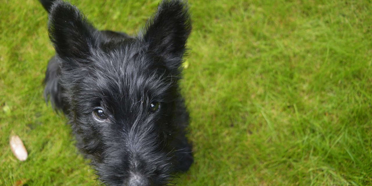 The Scottish Terrier - A Hypoallergenic Breed