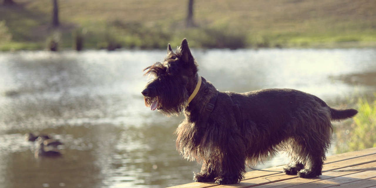 The Scottish Terrier - A Hypoallergenic Breed Of Dog
