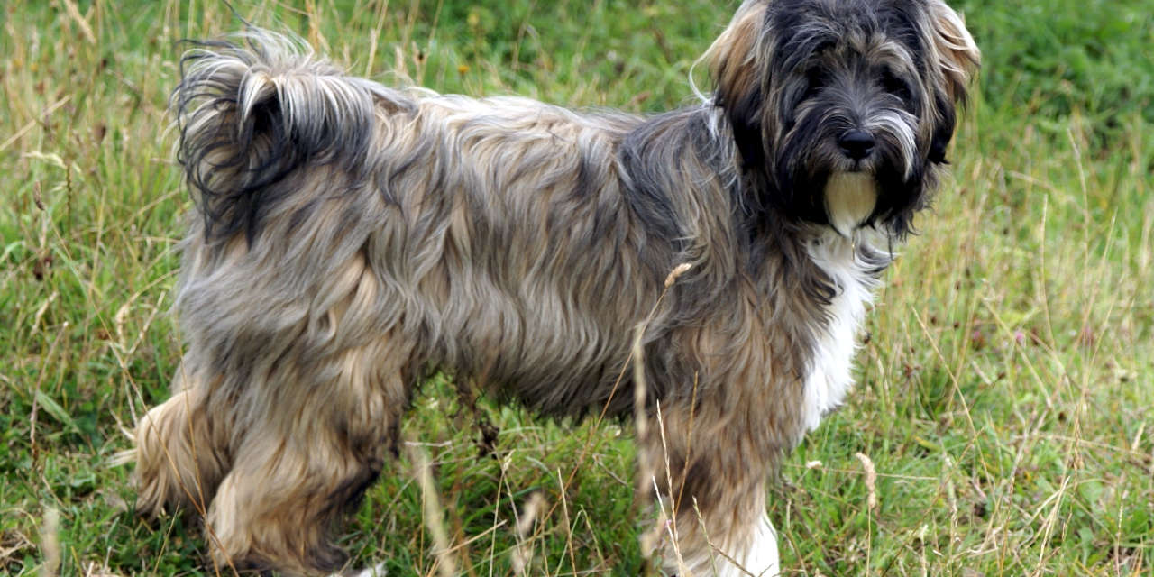 The Tibetan Terrier - A Non Shedding Type Of Dog