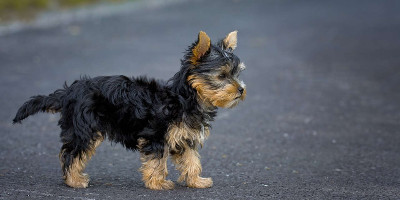 The Yorkshire Terrier - Hypoallergenic Sorts Of Dogs