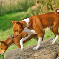 The Basenji - A Hypoallergenic Kind Of Dog
