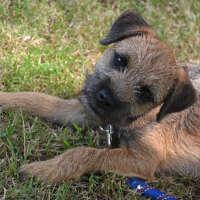 The Border Terrier - Hypoallergenic Dog Breeds