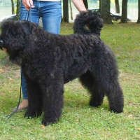 The Bouvier Des Flandres - A Hypoallergenic Dog