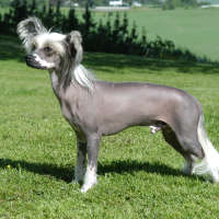 The Chinese Crested Dog - Non Shedding Sorts Of Dogs