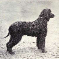 The Irish Water Spaniel - Hypoallergenic Kinds Of Dogs