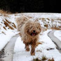 The Komondor - A Non Shedding Dog Breed