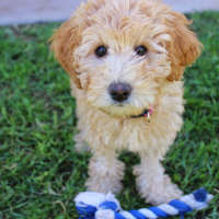 The Labradoodle - Hypoallergenic Dog Breeds
