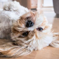 The Lhasa Apso - A Hypoallergenic Breed