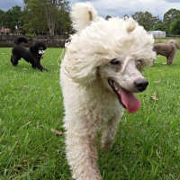 The Poodle - A Non Shedding Breed