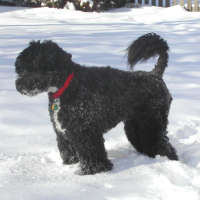 The Portuguese Water Dog - Non Shedding Dogs