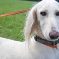 The Saluki - Non Shedding Types Of Dogs