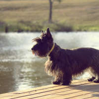 The Scottish Terrier - A Hypoallergenic Sort Of Dog
