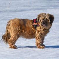 The Tibetan Terrier - A Non Shedding Breed Of Dog