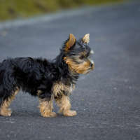 The Yorkshire Terrier - A Hypoallergenic Sort Of Dog