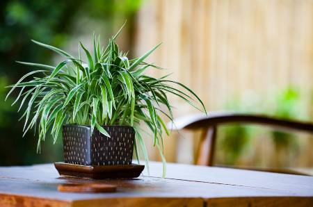 a spider plant in a black vase on a dining room table