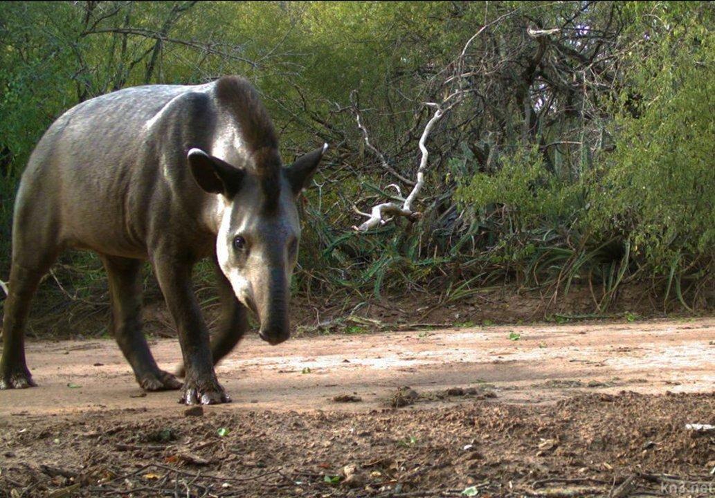 Hay un Plan de Acción de conservación del tapir, pero no lo aprobóel Ministerio de Ambiente.