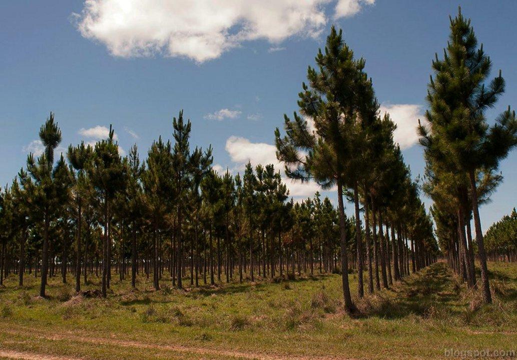 La AGN observó un dominio absoluto de la promoción de especies exóticas, sobre todo pinos y eucaliptus.