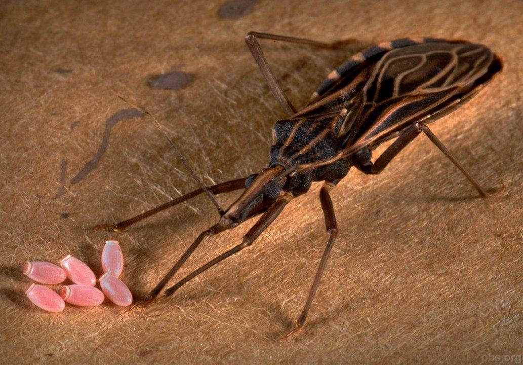 La vinchuca, uno de los transmisores de Chagas, se reproduce fácilmente y suele poner sus huevos en gallineros, corrales y techos de paja.