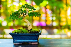 Growing and Caring for Bonsai Trees in Your Home