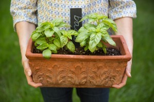Five Herbs You Should Grow at Home Instead of Buying at the Store