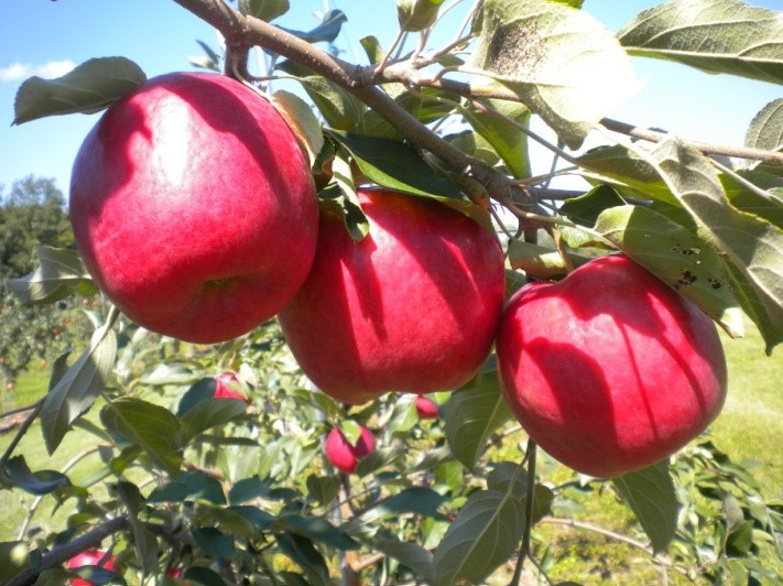 Minnesota First Kiss™ Apple (MN55 Variety) (20110037, Dr. David Bedford)