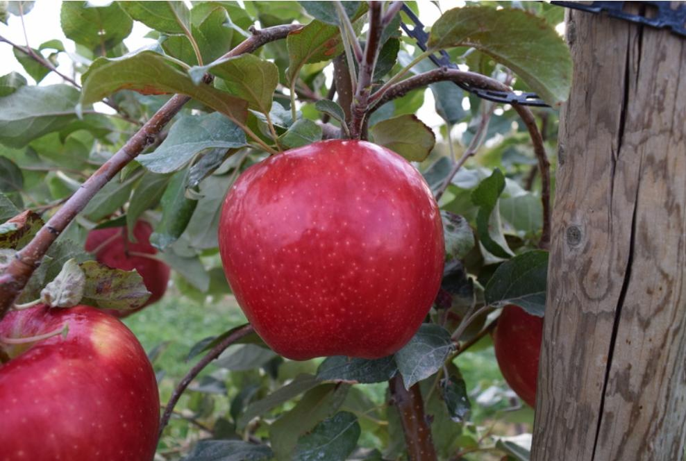 LJ-1000 Apple Variety (20150018, Dr. Bedford)
