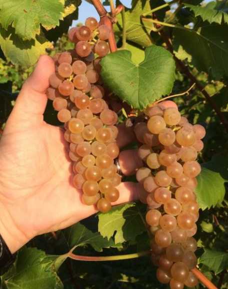 Cold Hardy Itasca Grape Variety