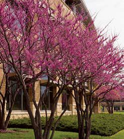 Heart's Desire™ Redbud Spring Flowering Tree