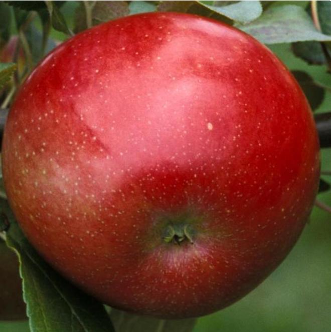 Zestar! Cold Hardy Apple