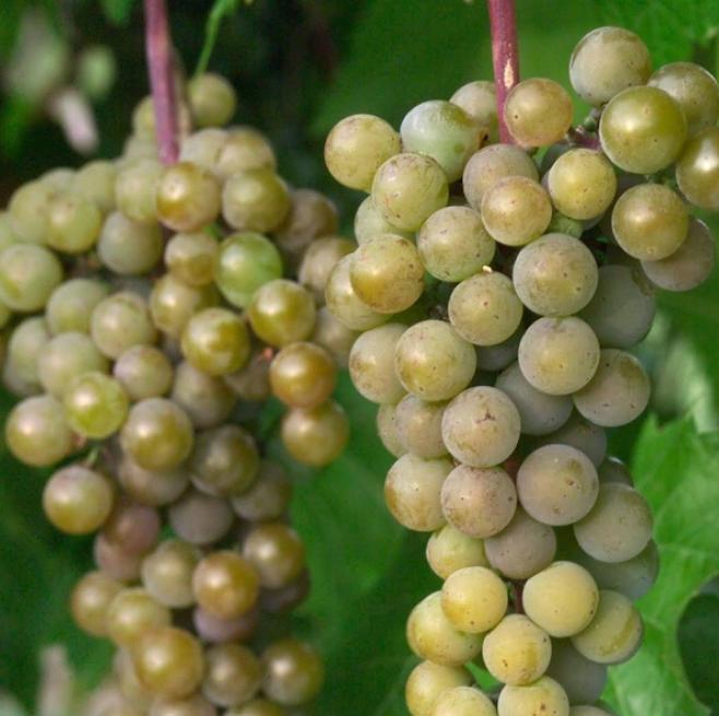 Cold Hardy La Crescent Grape Variety