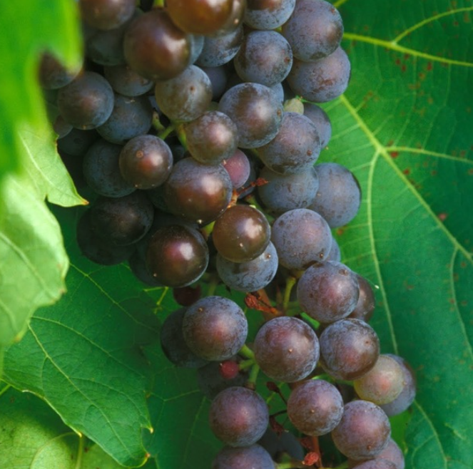 Cold Hardy Frontenac gris Grape Variety