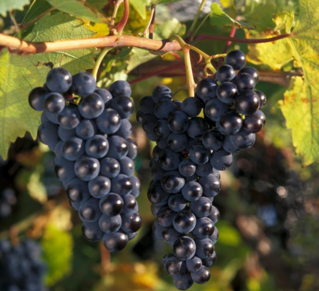 Cold Hardy Marquette Grape Variety