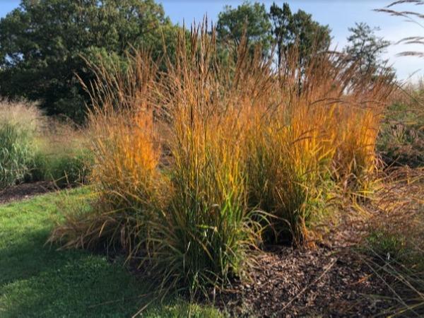 Golden Sunset Indiangrass