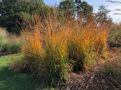 Golden Sunset™ Grass