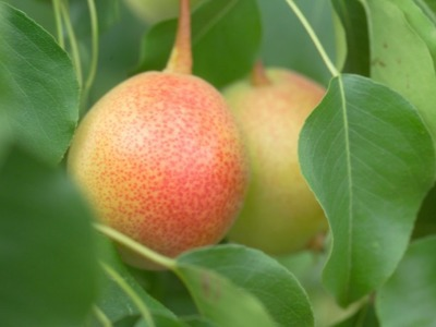 Juicy Jewel™ Pear Variety