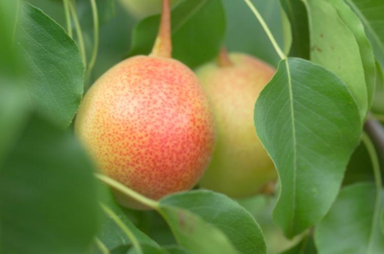 Juicy Jewel™ brand pear