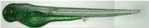 Zebrafish larvae