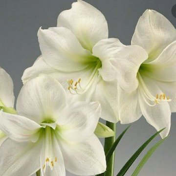 Amaryllis Duo's profile picture