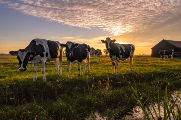 Grass Cows