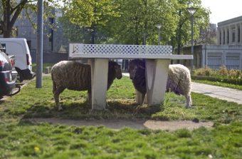 Les moutons jouent à saute-béton