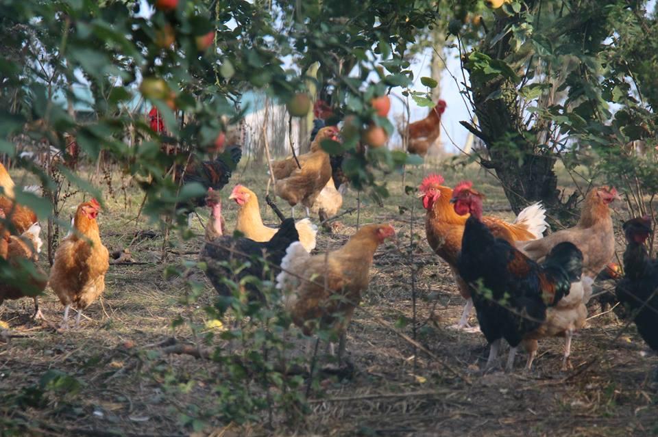 Les poules de la ferme du Logis / DR