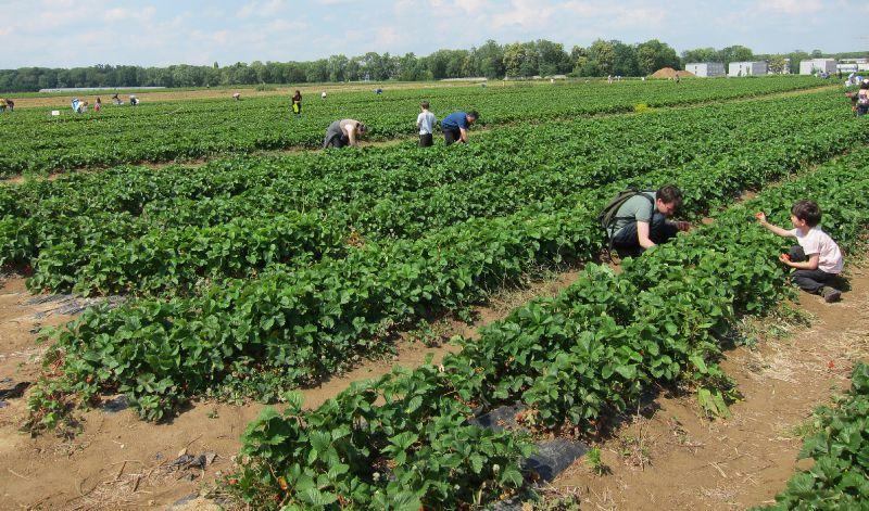 Cueillette de fraises à la ferme de Viltain / DR