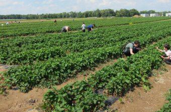 L'amour est dans le panier : cueillir ses fruits et légumes en Île-de-France