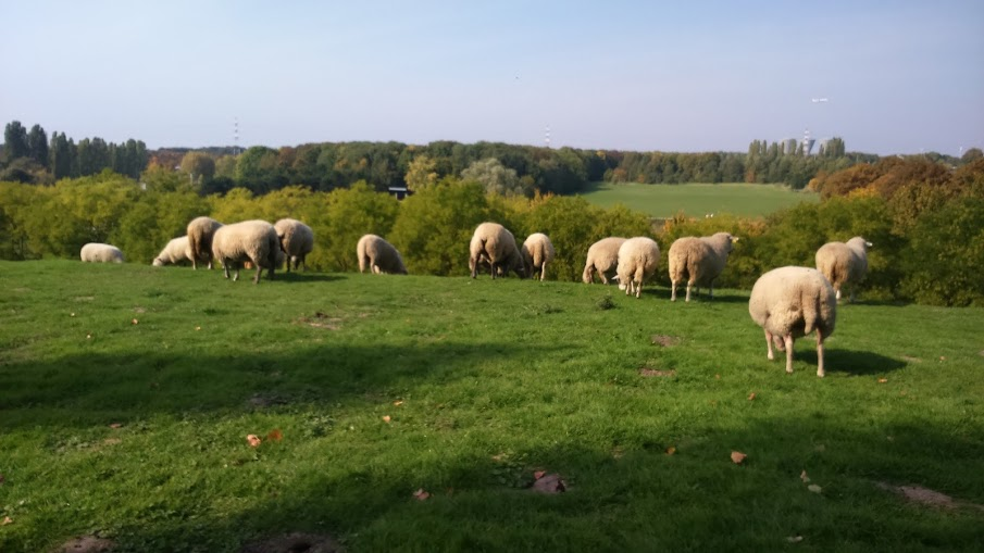 Les moutons au Sausset