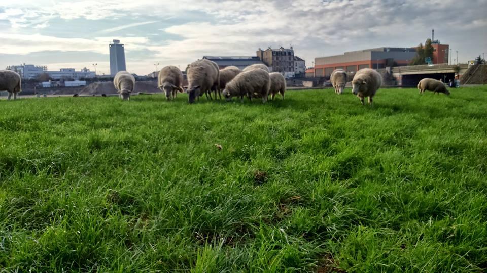 les moutons dans le 93