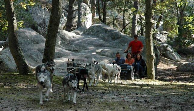 Chiens de traineau en forêt de Fontainebleau